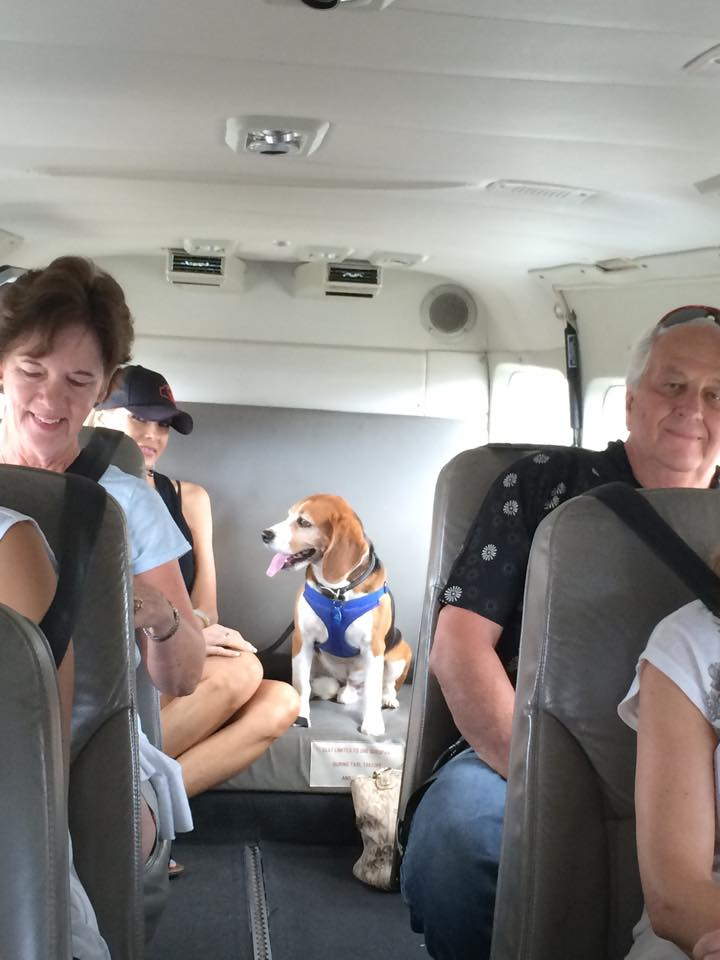 Toby the Beagle enjoys his flight on Mokulele Airlines...for free!