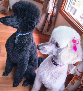 Two beautifully groomed Standard Poodle clients of Downtown Dogs
