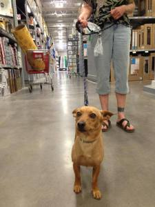 I met Buddy at Lowe's in September 2013. He's a regular furry customer!